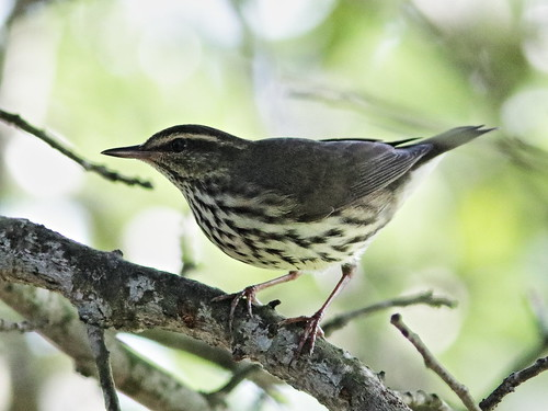 Northern Waterthrush 03-20170829