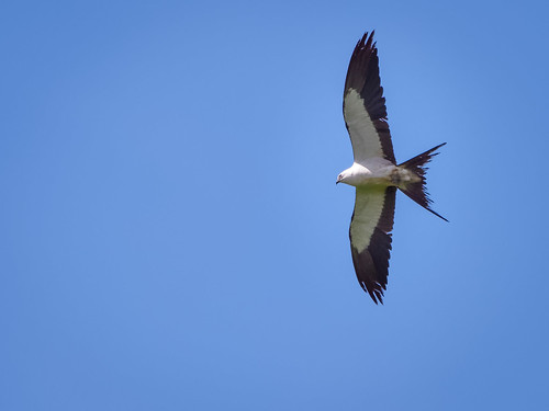 Swallow-tailed Kite | by Ed Rosack