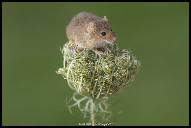 Harvest mice on Queen Anne's Lace