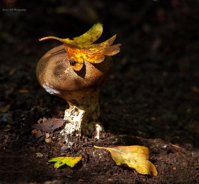 puff ball fungi in dark woodland lite by sun