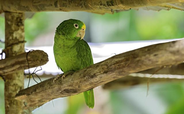 Amazona ocrocephala.