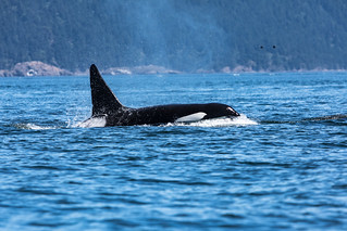 Orca | by schoeband