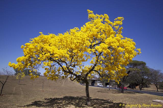 Série com o Ipê-amarelo em Brasília, Brasil - Series with the Trumpet tree, Golden Trumpet Tree, Pau D'arco or Tabebuia in Brasília, Brazil - 20-08-2017 – IMG_7541-2