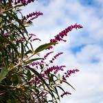 Amethyst sage,      Salvia leucantha