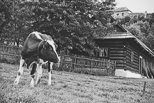 cow and wooden house   by bwstock