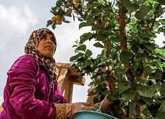 Importance de la main-d'oeuvre féminine pour les activités agricoles (BY-ND; Slim Medmigh/GIZ)