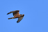 Little Eagle - hunting by Free_aza_Bird