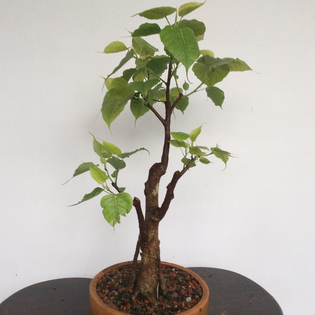 Ten years old Ficus religiosa tree after drastic pruning  for better care. -