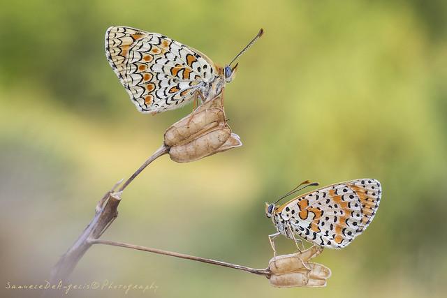 Melitaea phoebe - Melitaea didyma