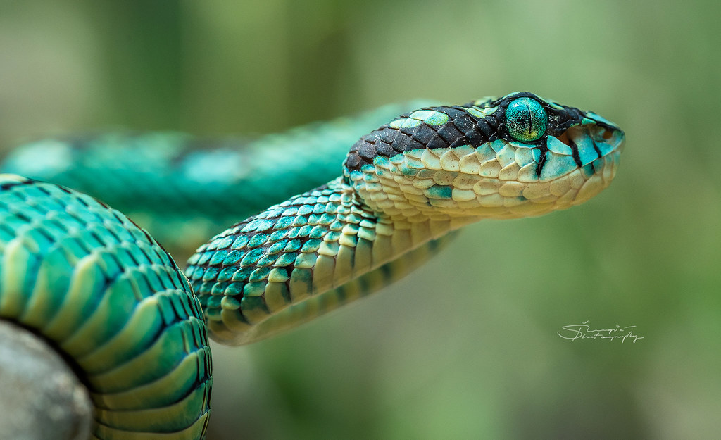 Sri Lankan Pit Viper Trimeresurus Trigonocephalus Stevan Zugic Flickr