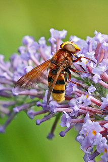 Volucella zonaria | by Roy Lowry
