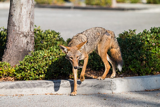 Urban Coyotes | by Santa Monica Mountains National Recreation Area