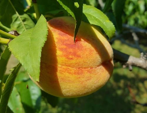 Peaches 2017 | by chalkahlom