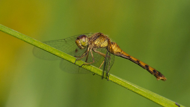 Common Green Darner-07632