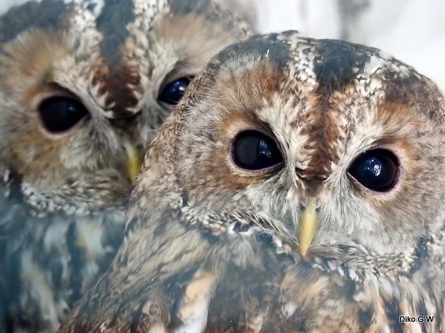 Tawny Owl pair