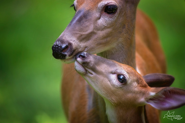 Deer Kisses 😘