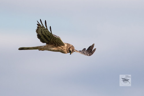 Montagu's-Harrier-female__w_022650 | by Stephen Daly