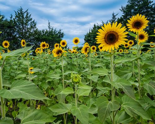 flower virginia burnside clouds landscape summer sunflowers