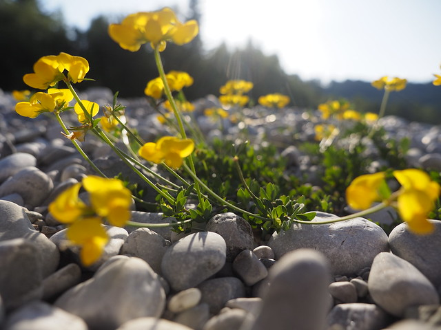 © Yellow Flower on Pebble Beach Nature Summer – Gelbe Blume Kieselstrand Natur