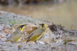 Yellow-tufted Honeyeaters | by petefeats