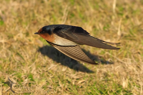 Welcome Swallow | by VS Images