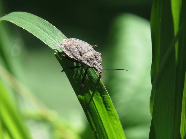 Waiting... Stink bug (or Shield bug) (Halyomorpha sp.), Madera Canyon, Aug 2017