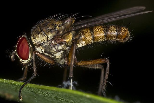 Hylemya alcathoe (Anthomyiidae) (Diptera) Male Root-Maggot Fly