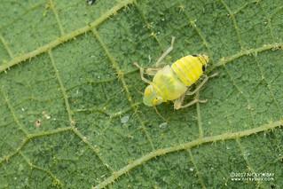Leafhopper nymph (cf. Coelidiinae) - DSC_9905
