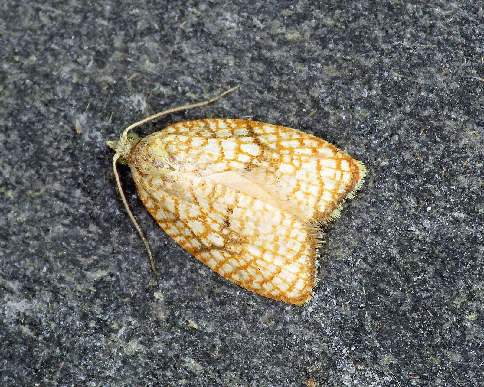 49.062 Acleris forsskaleana