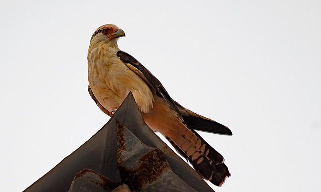 Yellow Headed Cara Cara (falcon)