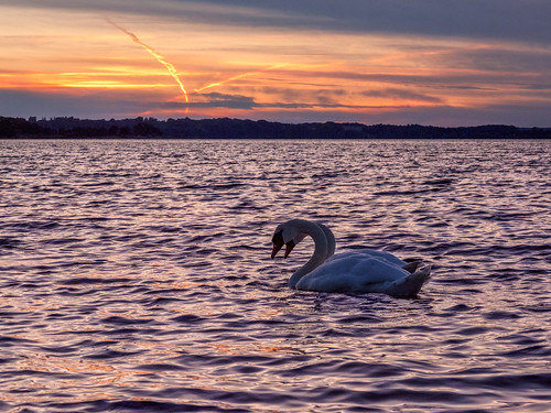 animal beautifulview bird burningsky glowingsky landscape nature sea sky summer sun sundown sunset swan water waterscape langballig schleswigholstein germany de