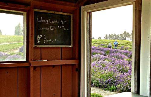 summer pacificnorthwest sequim lavenderworkers lavenderfields lavender