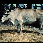 Yellow Cattle In Vietham = 世界の牛 ベトナム黄牛(雄)