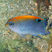 Dusky Damselfish - Photo (c) Kevin Bryant, some rights reserved (CC BY-NC-SA)