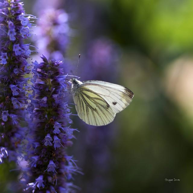 Monsieur le papillon