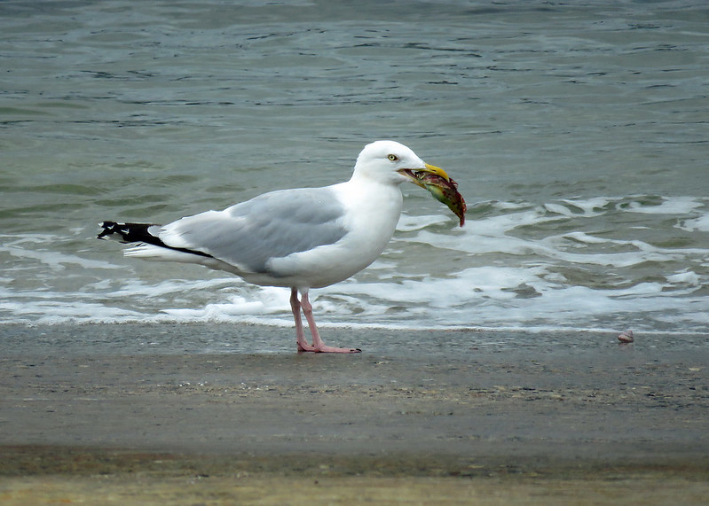 Herring Gull - Larus argentatus
