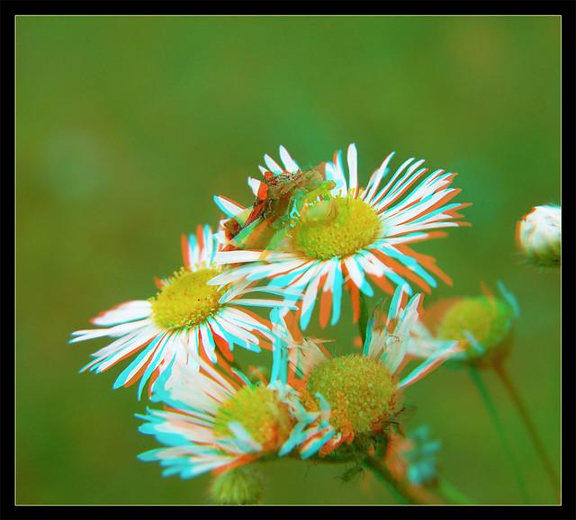 Jagged Ambush Bug on Heath Aster Flower 3 - Anaglyph 3D