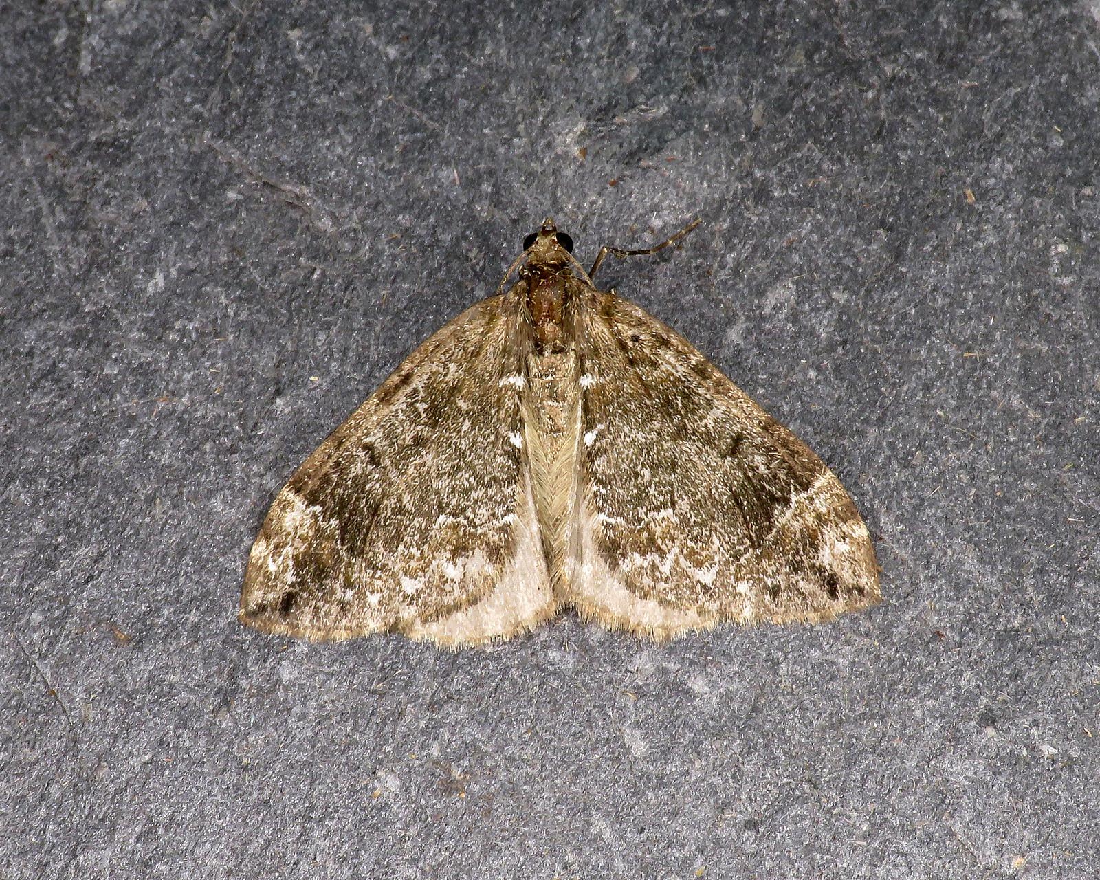 70.097 Common Marbled Carpet - Dysstroma truncata4_edited-1