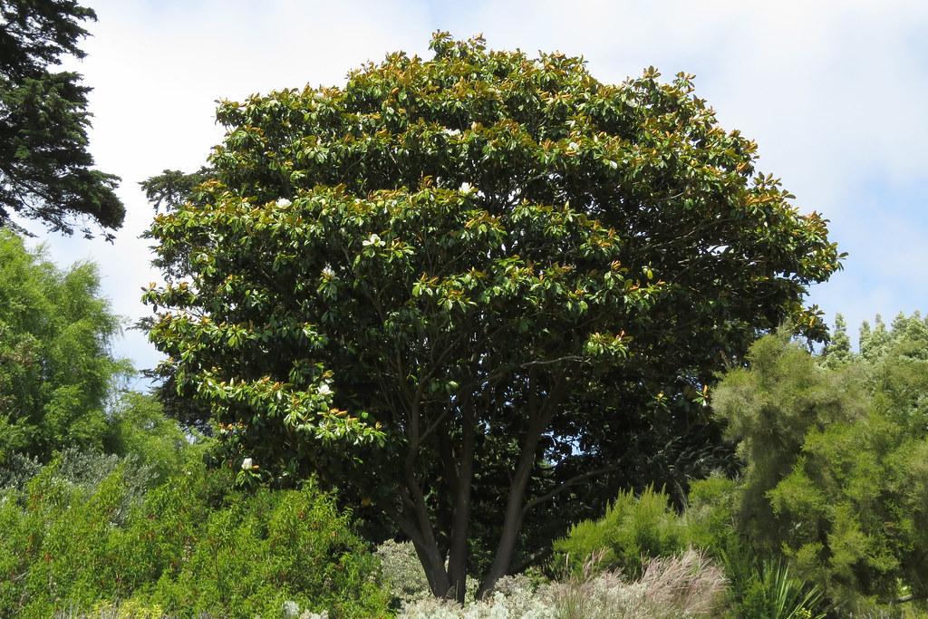 Large Magnolia Tree Botanical Garden In San Franciscos Go Flickr