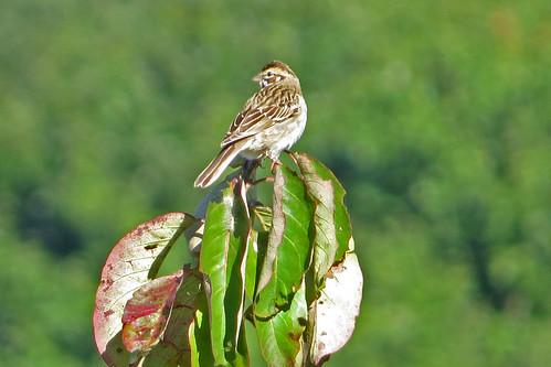 bird chondestesgrammacus