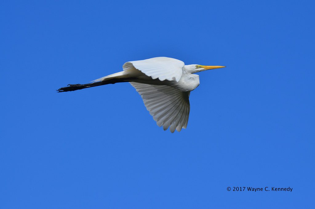 Great Egret in flight at St. Augustine