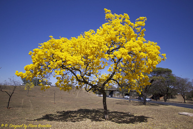 Série com o Ipê-amarelo em Brasília, Brasil - Series with the Trumpet tree, Golden Trumpet Tree, Pau D'arco or Tabebuia in Brasília, Brazil - 20-08-2017 – IMG_7544