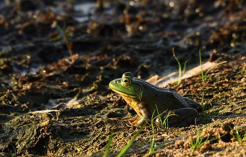 bullfrog petrie island 11082016 DSC_1097 | by David Villeneuve