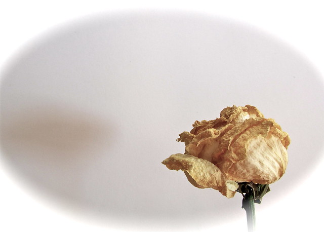 The shadow of a white rose...