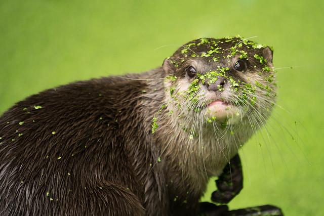 Otter in kroos
