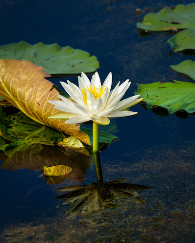 Water Lily | by Ed Rosack