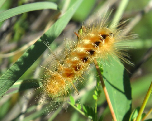 Bright and feathery! Pygarctia roseicapitis caterpillar (of the Red-headed pygarctia moth), Montosa Canyon, Tucson area, Aug 2017
