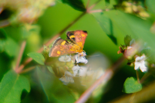 Pyrausta purpuralis moth on thyme flower