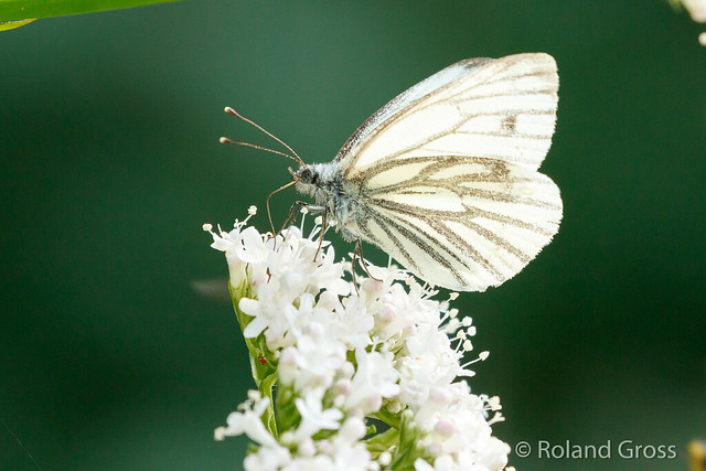 Schmetterling 171