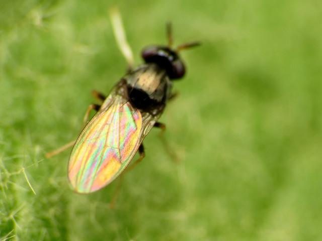 Little Lauxaniid Fly